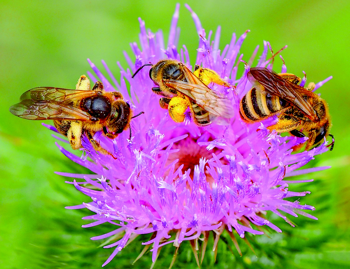 Drei Weibchen der Gelbbindingen Furchenbiene Pollen sammelnd auf einer Blüte der Gewöhnlichen Kratz- distel (Foto: Hans Richard Schwenninger)