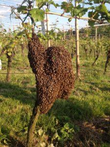 Bienenschwarm-auf-Weinrebe