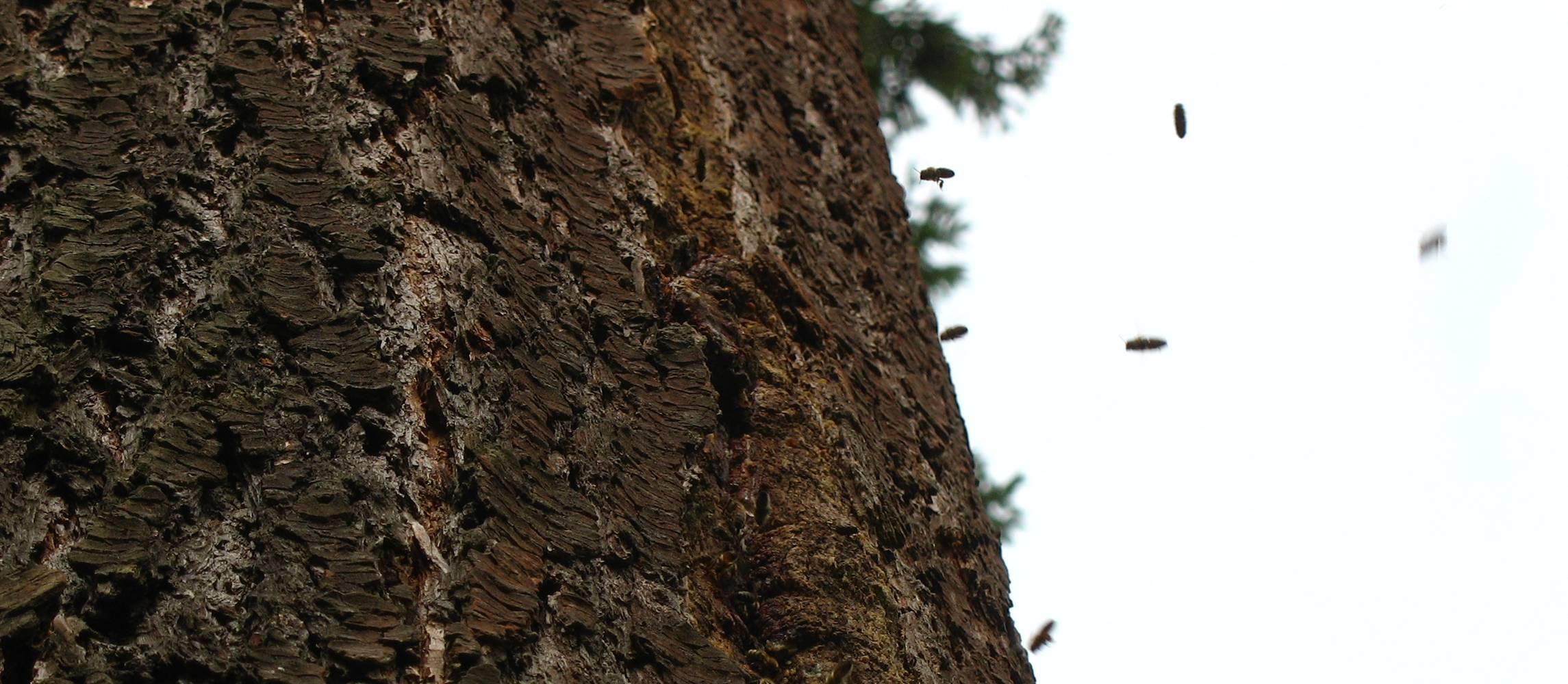 Gibt es wildlebende Honigbienen? @ Forum 3