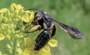 Andrena aglissima